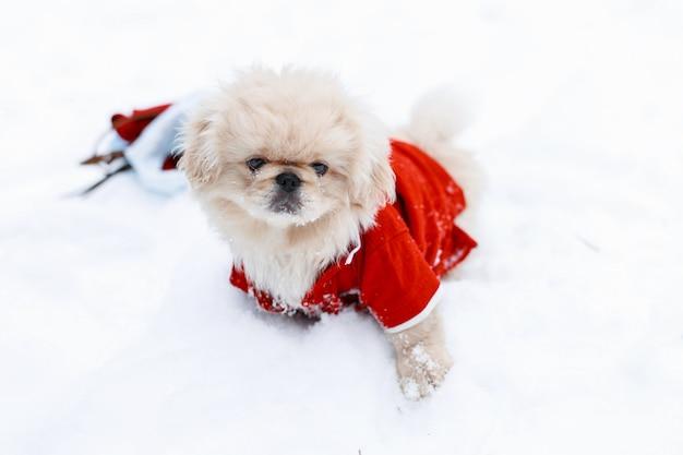 Słodkie psy szczenię pekińczyk w ciepłych ubraniach stojących na śniegu