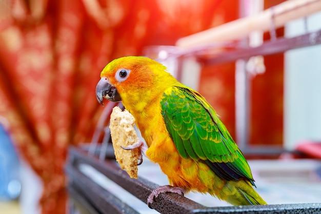 Słodkie słońce conure papuga jedzenie i patrząc w kamerę.