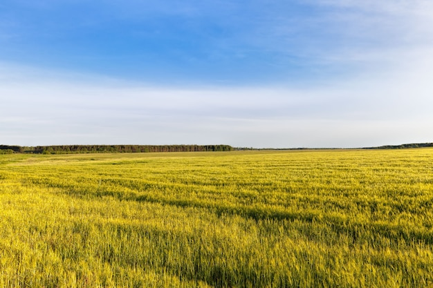 Słodkie, zielone, niedojrzałe zboża latem na polu, zbierają zboża i ziarna, aby nakarmić ludzi i zwierzęta gospodarskie w gospodarstwach rolnych
