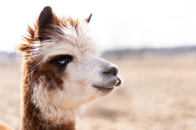 Słodkie zwierzę alpaka lama na farmie na zewnątrz z zabawnymi zębami