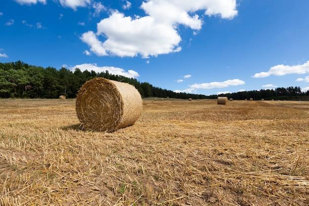 Słoma na gruntach rolnych po zbiorach i przyjęciu dużej ilości zbioru ziarna pszenicy