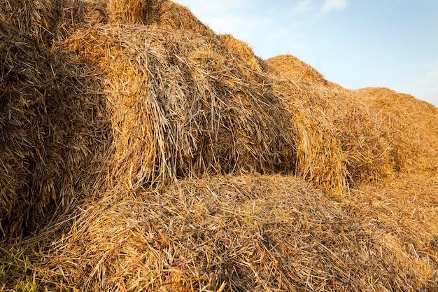 Słoma stogów siana leżąca na polu uprawnym po zbiorze zbóż