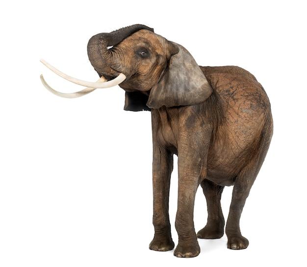 Słoń afrykański lifiting swój bagażnik, stojący, odizolowywający na bielu