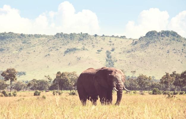 Słoń afrykański (loxodonta africana) krowa z młodym cielakiem w buszu pustyni, kenia