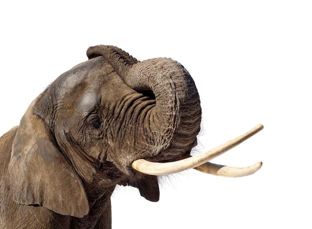 Słoń afrykański na białym tle