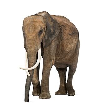 Słoń afrykański, na białym tle