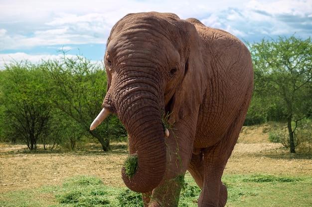 Słoń afrykański na użytkach zielonych parku narodowego etosha, namibia.