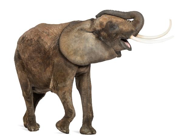 Słoń afrykański trąbienie, patrząc szczęśliwy, na białym tle