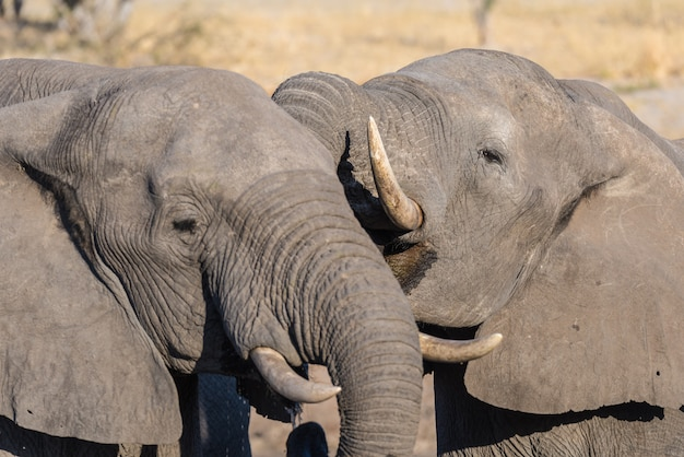 Słoń afrykański z bliska, picie. wildlife safari w parku narodowym chobe, cel podróży w botswanie, afryka.