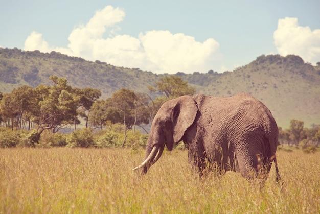 Słoń Afrykański Premium Zdjęcia