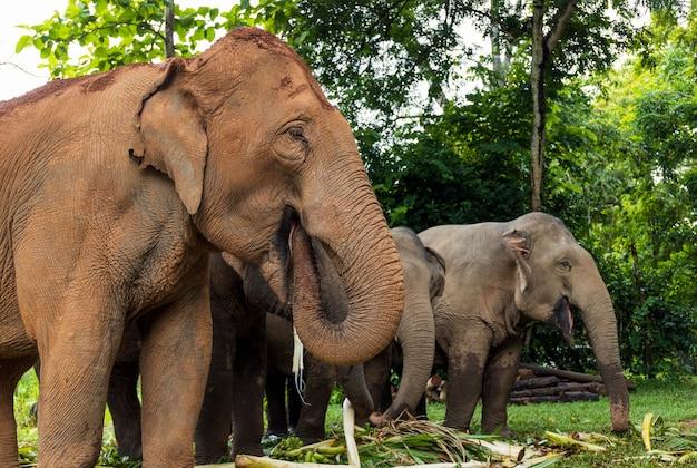 Słoń azjatycki cieszy się jedzeniem w parku przyrody w tajlandii
