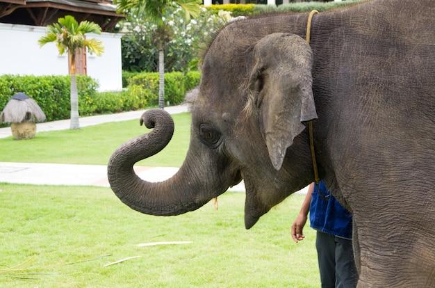 Słoń azjatycki na zielonym ogrodzie