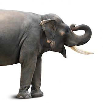 Słoń azjatycki z długimi kości słoniowej na białym tle