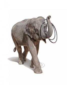 Słoń bawić się pierścionki odizolowywających na bielu