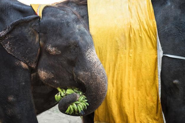 Słoń Bierze Banana Z Pniem Premium Zdjęcia