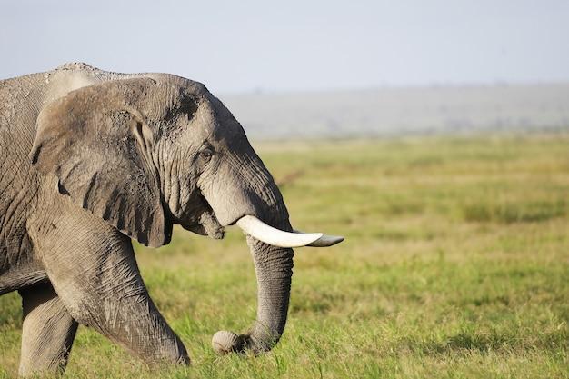 Słoń chodzący po zielonym polu w amboseli nationalpark w kenii