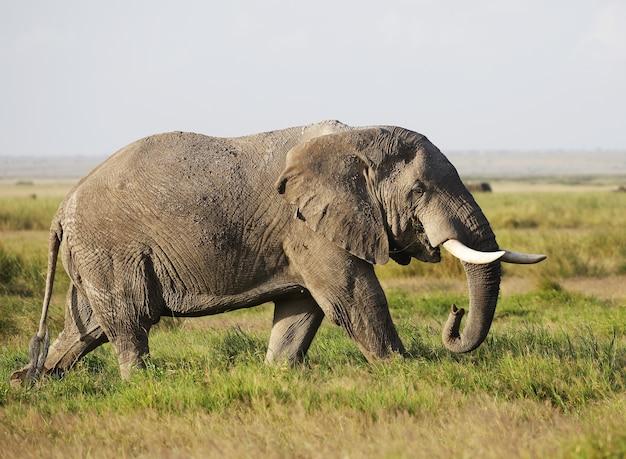 Słoń chodzący po zielonym polu w parku narodowym amboseli w kenii