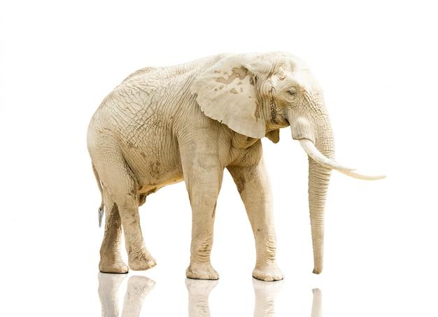Słoń chodzi na białym tle