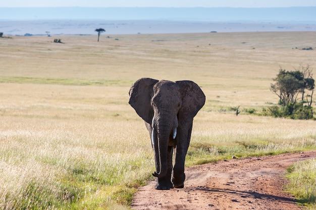 Słoń chodzi w sawannie