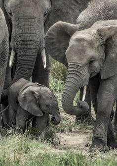 Słoń i cielę w parku narodowym serengeti