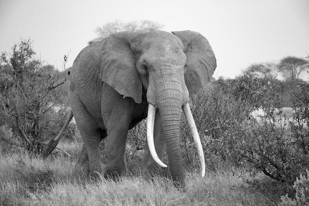Słoń idzie między krzakami