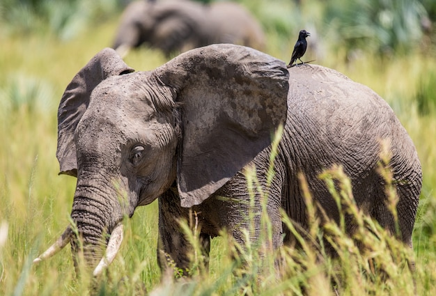 Słoń idzie po trawie z ptakiem na grzbiecie w parku narodowym merchinson falls