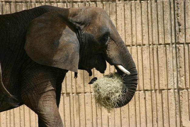 Słoń jedzący siano w zoo za drewnianym płotem