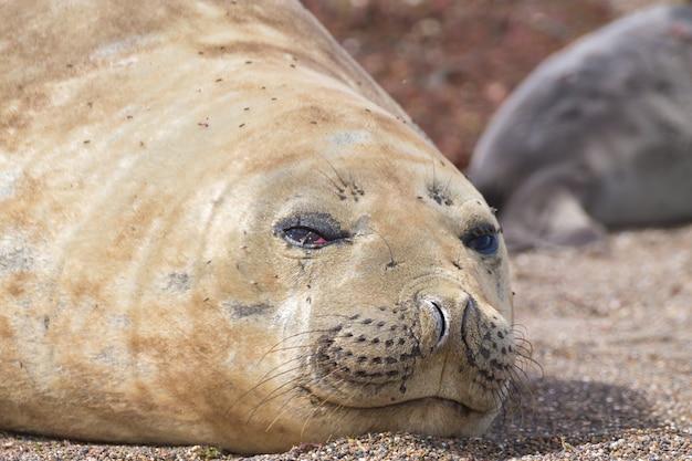 Słoń morski na plaży z bliska, patagonia, argentyna. plaża isla escondida. argentyńska przyroda