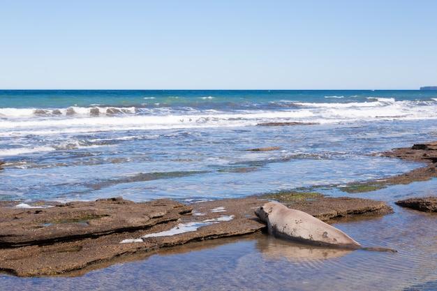 Słoń morski na plaży z bliska, patagonia, argentyna