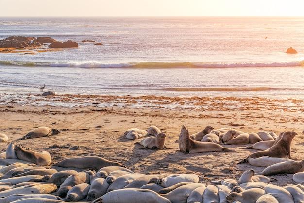 Słoń morski śpi na plaży w elephant seal vista point, san simeon, kalifornia, usa