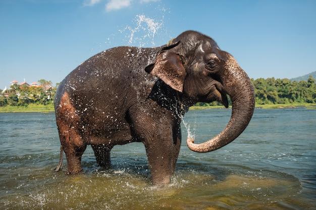 Słoń myje w rzece