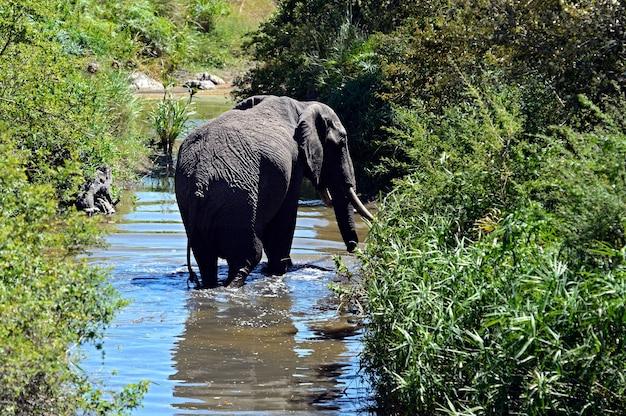 Słoń na afrykańskiej sawannie masai mara
