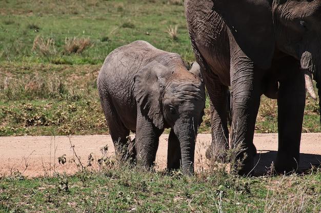 Słoń na safari w kenii i tanzanii w afryce