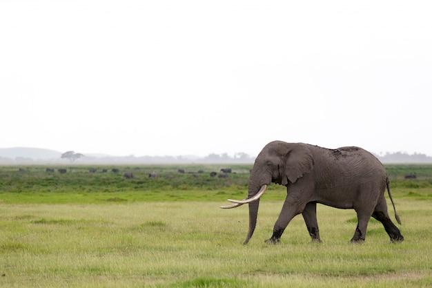 Słoń na sawannie parku narodowego w kenii