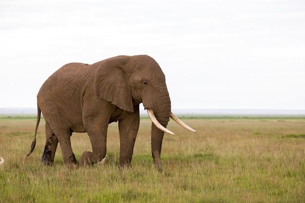 Słoń na sawannie parku narodowego