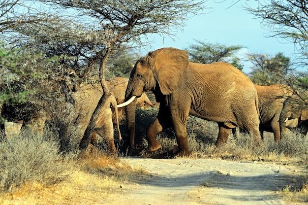 Słoń na sawannie w ich naturalnym środowisku