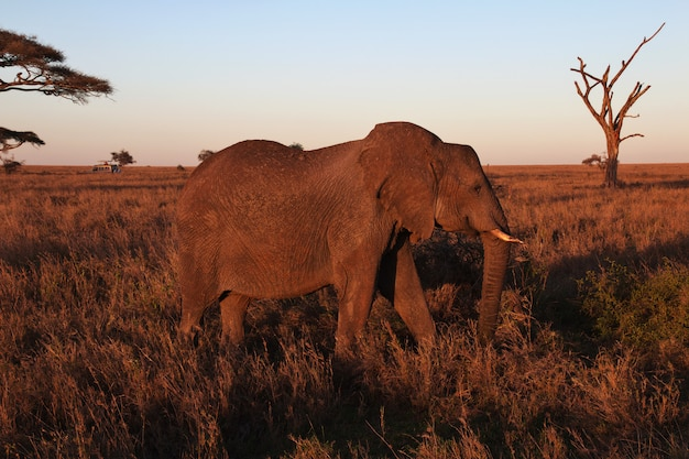 Słoń na sawannie w kenia i tanzania, afryka