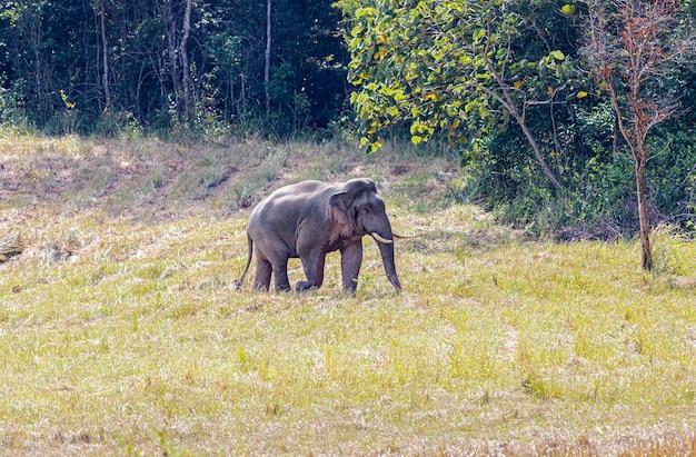 Słoń na zielonej łące w parku narodowym khao yai