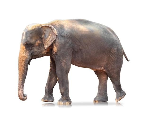 Słoń odizolowywający na białym tle. duże ssaki.