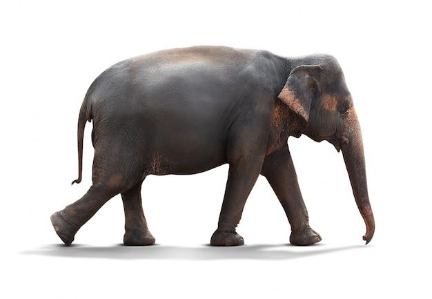Słoń odizolowywający na bielu