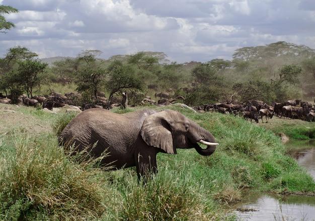 Słoń pije w serengeti parku narodowym