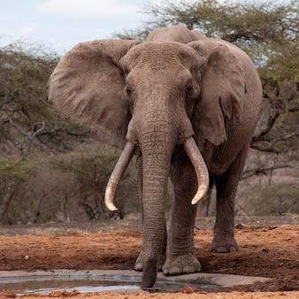 Słoń przyrody w kenii