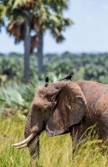 Słoń stoi na trawie z ptakiem na grzbiecie w parku narodowym merchinson falls