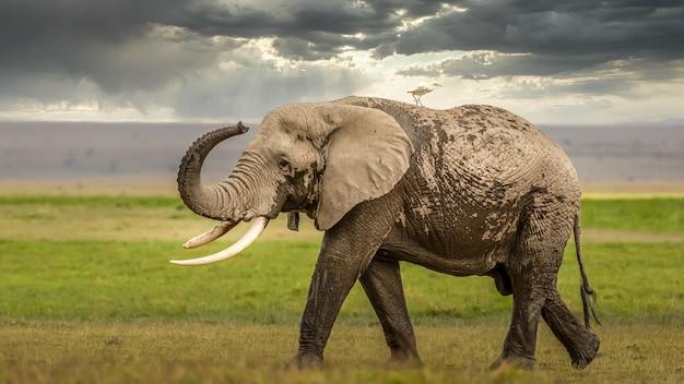 Słoń w afryce spacerując po trawie w parku narodowym tarangire