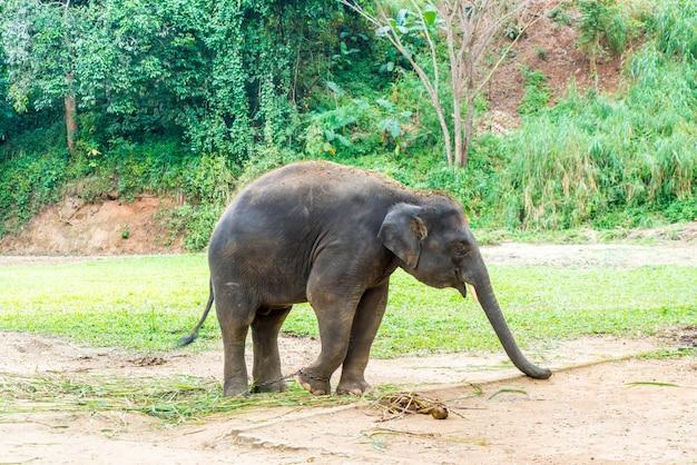 Słoń w chiang mai, tajlandia