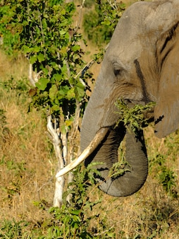 Słoń w chobe parku narodowym, botswana, afryka