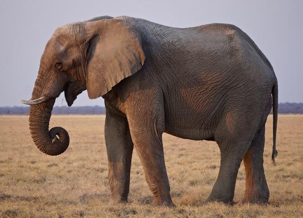 Słoń w etosha parku narodowym, namibia