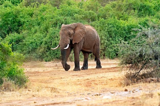 Słoń w ich naturalnym środowisku na afrykańskiej sawannie