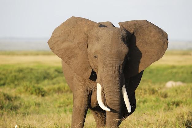 Słoń w parku narodowym amboseli, kenia, afryka