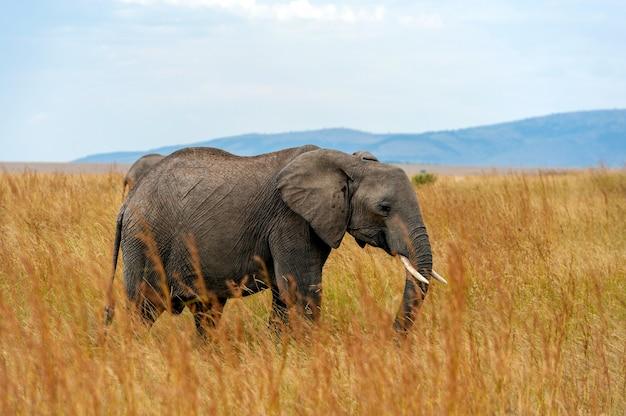 Słoń w parku narodowym kenii, afryka
